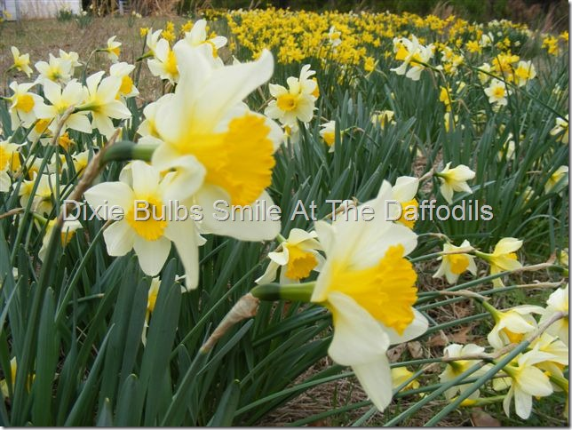 smile at the daffodils