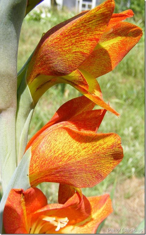 Parrot Gladiolus dalenii