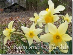 Log Barn and Daffodils