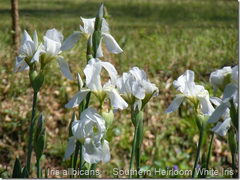Iris albicans group