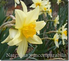 N. incomparabilis